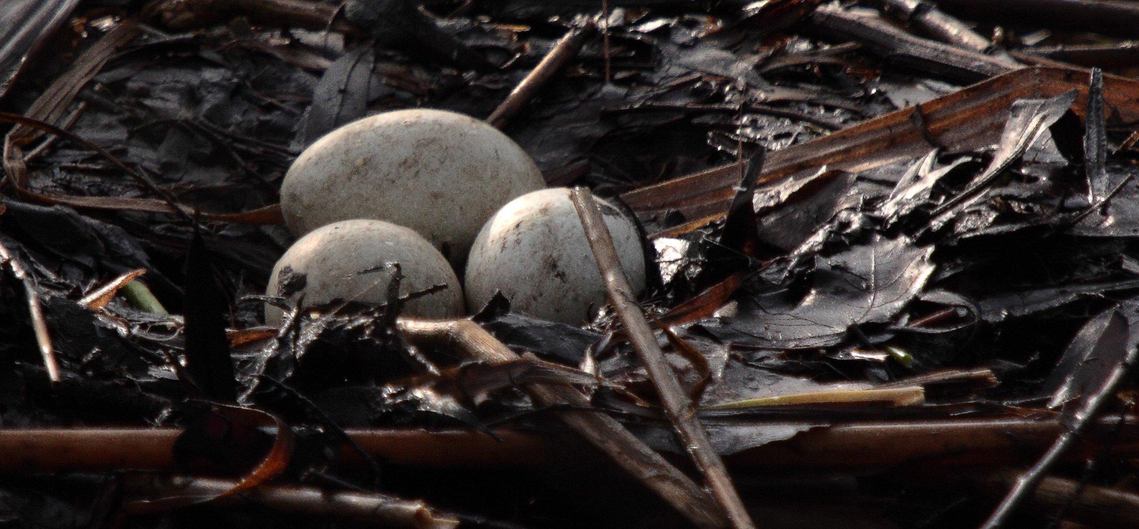 le nid de Grèbe Huppé