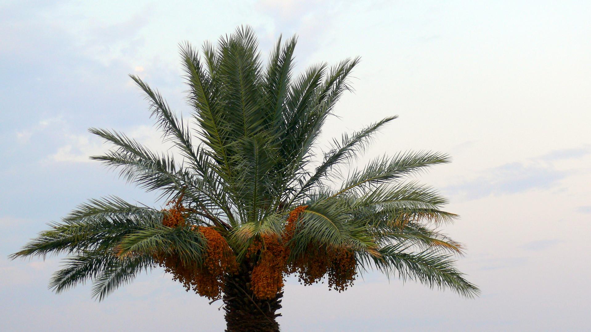 Le palmier de Laughlin