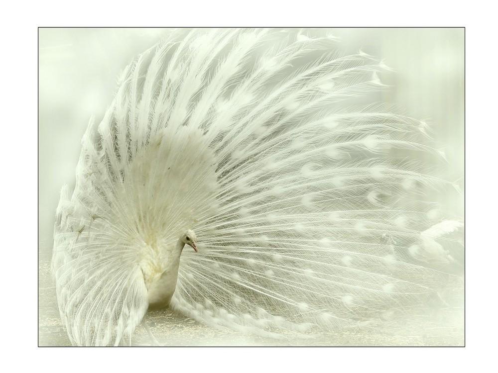 le paon blanc*
