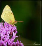 le papillo n°3