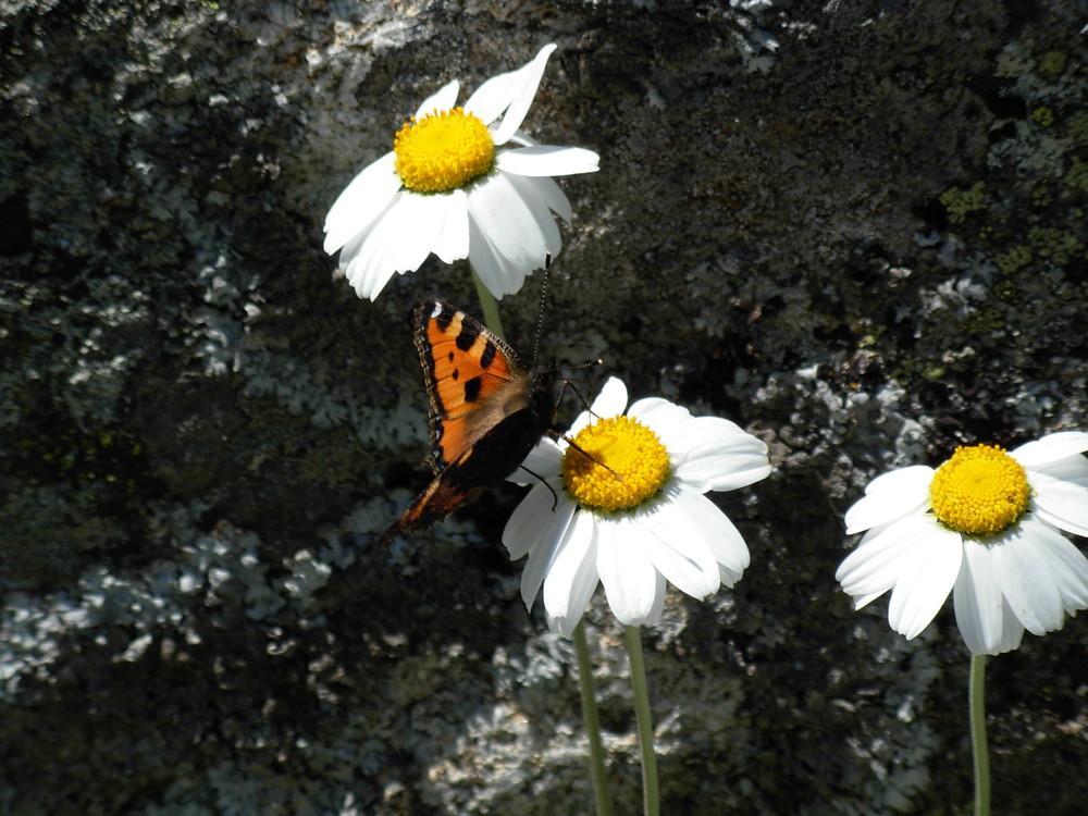 Le papillon butine