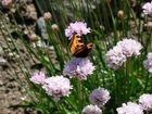 Le papillon butine encore