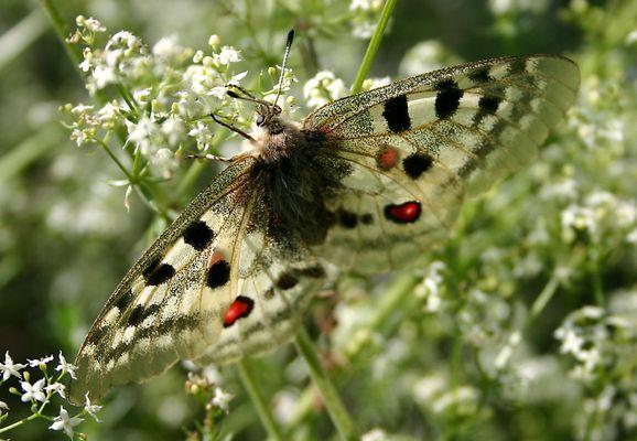 le papillon !