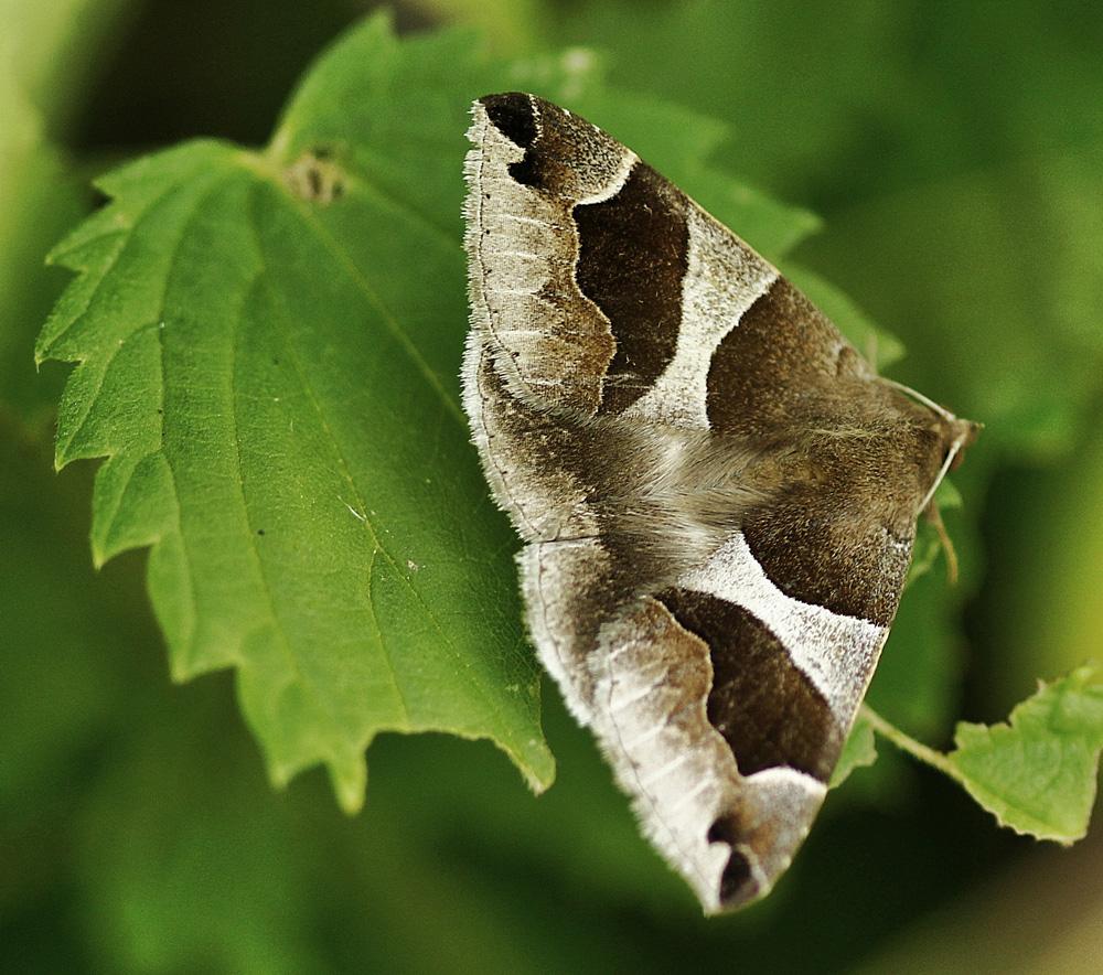 Le papillon de nuit photo et image macro nature macro insectes papillons images fotocommunity - Gros papillon de nuit dangereux ...