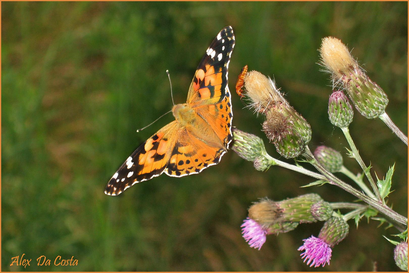 Le papillon des chardons