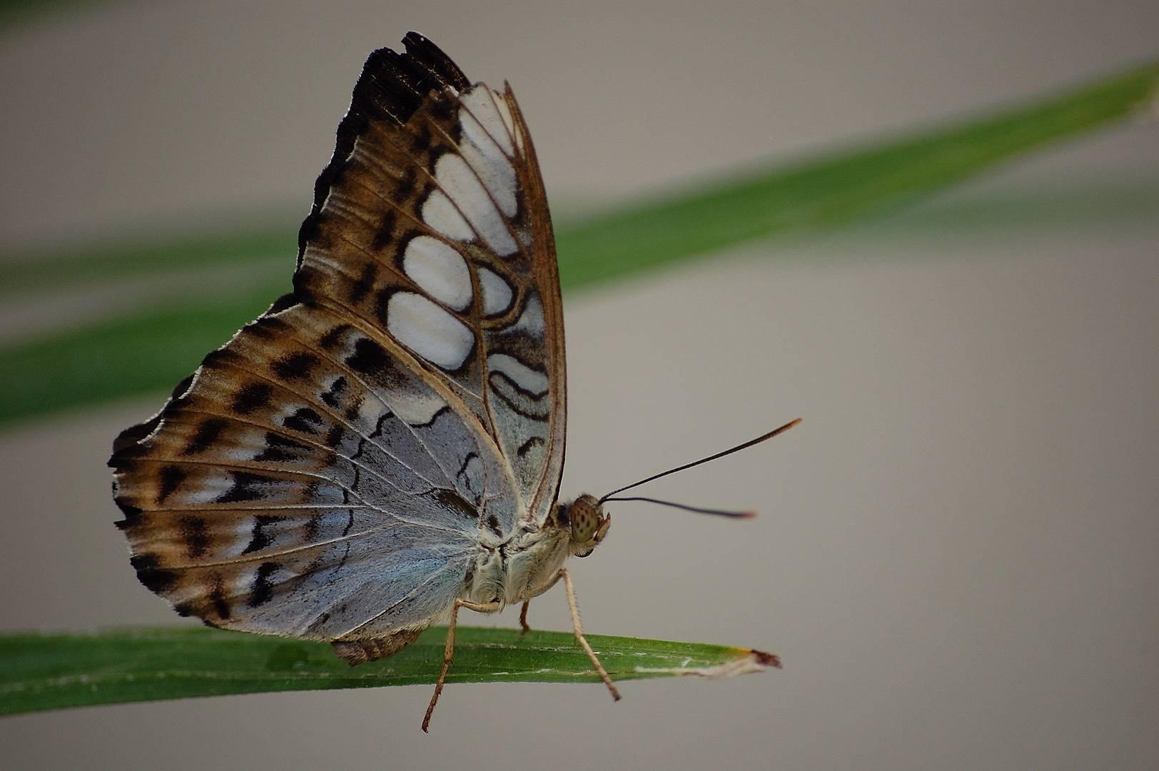 Le papillon modèle