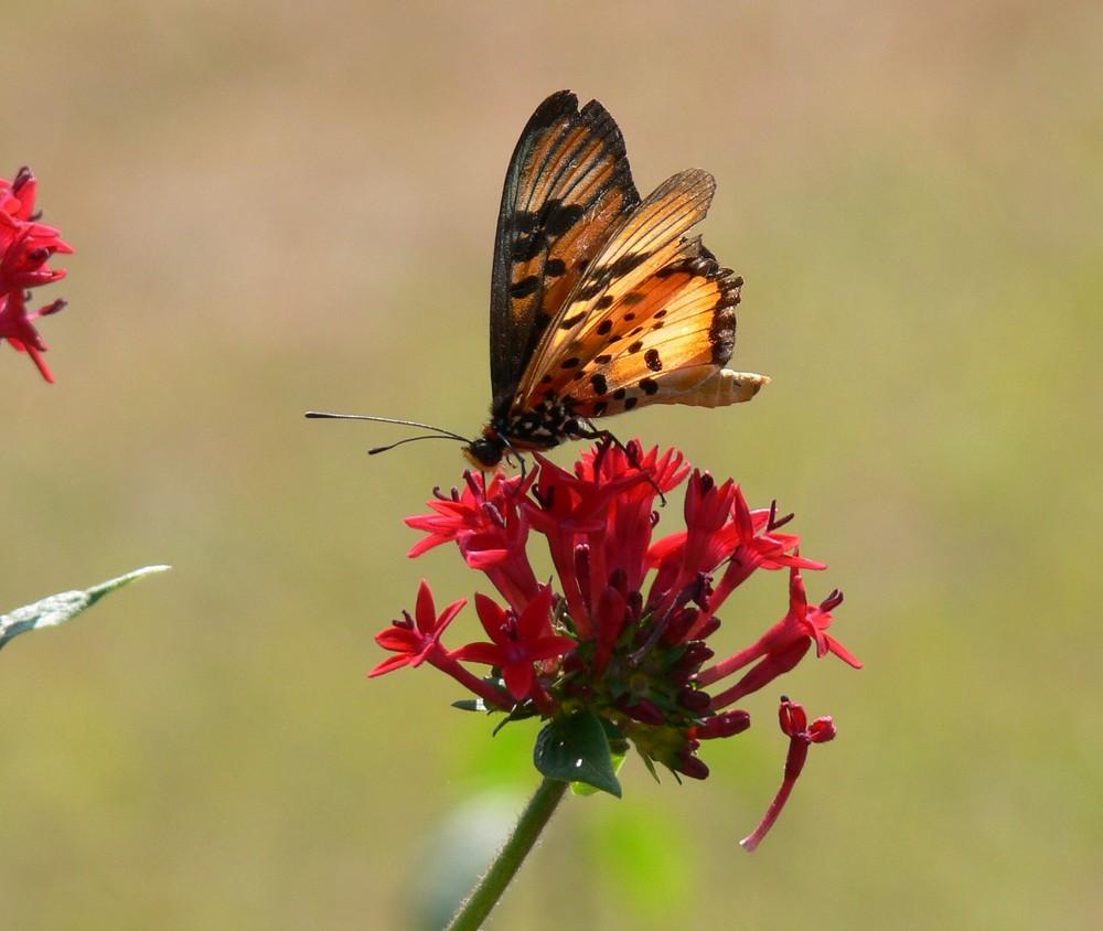 le papillon parfait