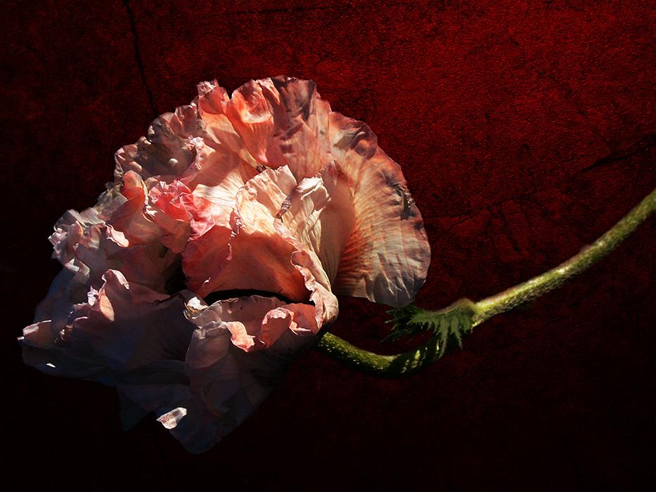 Le pavot rose