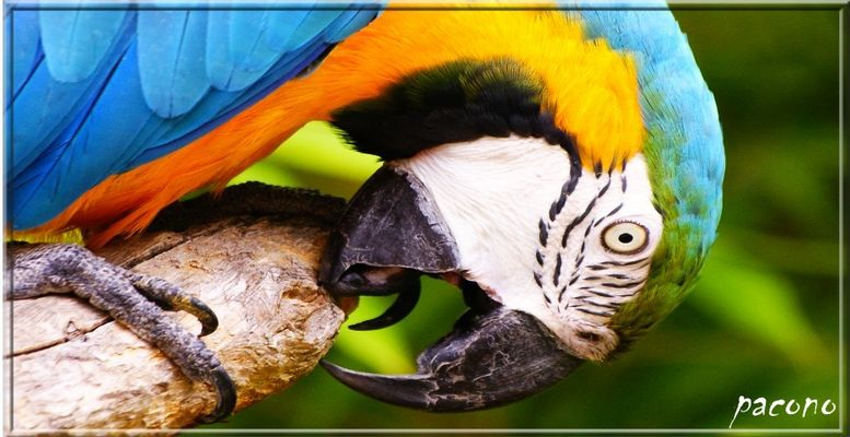 le perroquet n°2
