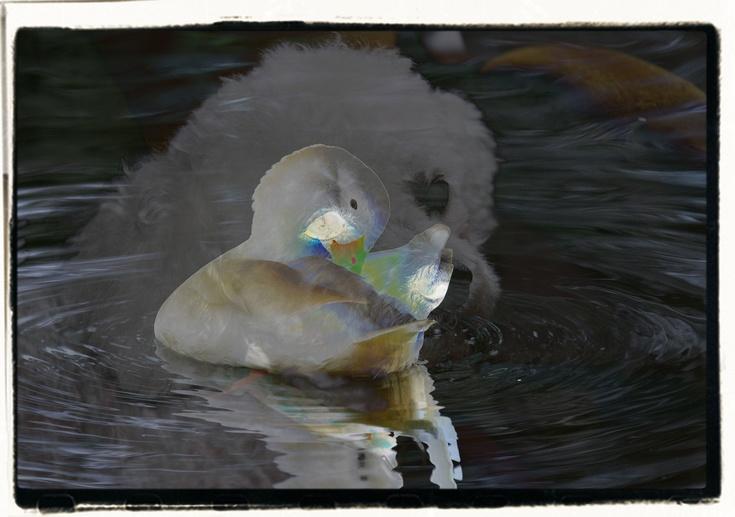le petit canard et romeo s'aimaient d'amour tendre........