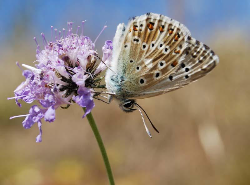 Le petit papillon du Coly