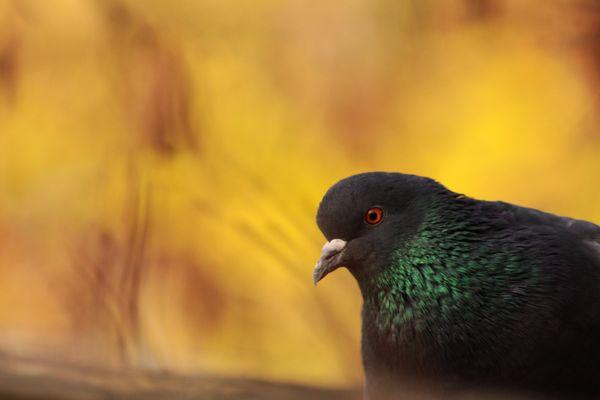 le pigeon paisible