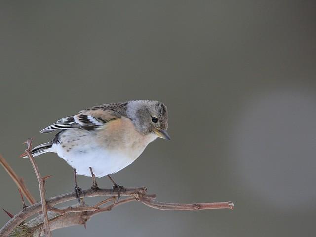 Le Pinson du Nord femelle