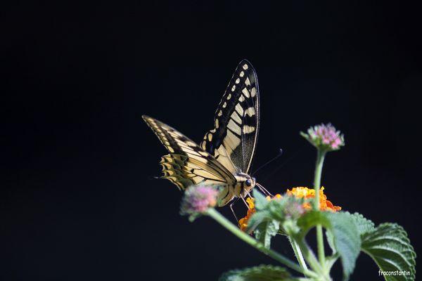 Le plus beau papillon que j'ai pu photographier à Minorque