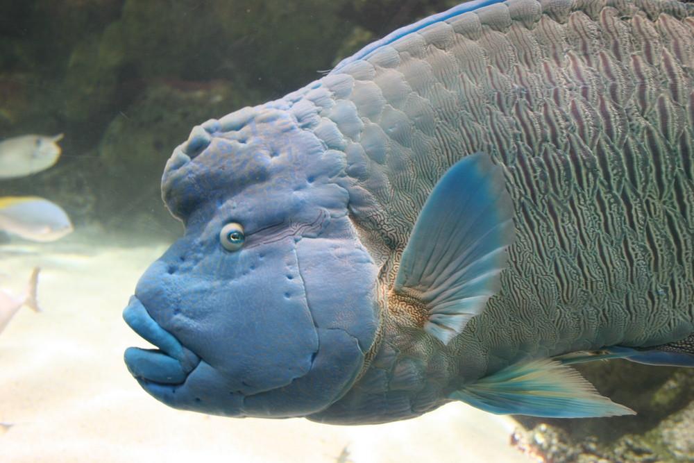 le poisson napoléon!!! aquarium de la rochelle
