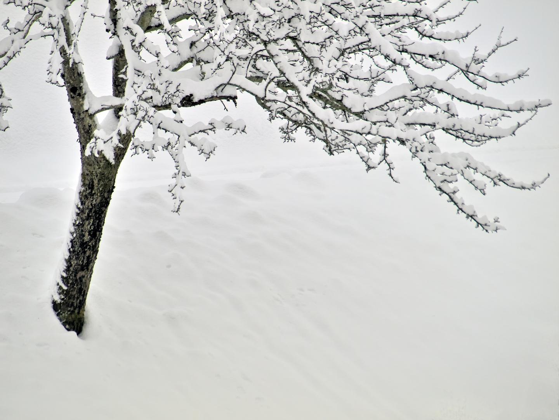 le pommier - der Apfelbaum