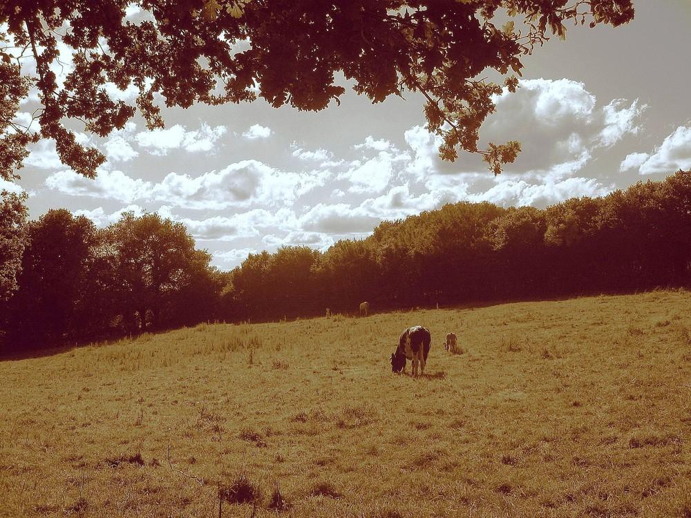 Le pré des vaches