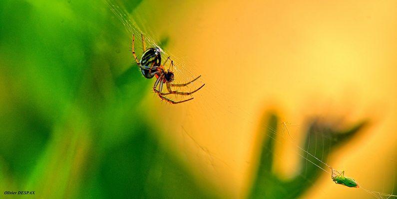 Le prédateur arachnoïde à capturé sa proie et mis dans ses filets ...
