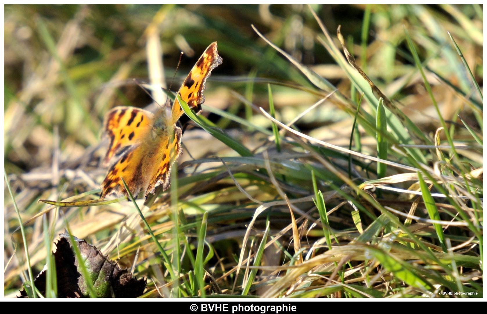 Le premier papillon de l'année 2011