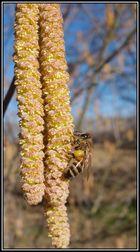 Le premier pollen de l'année