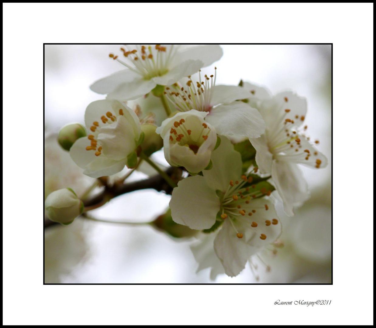 Le printemps arrive, le prunier est en fleurs.
