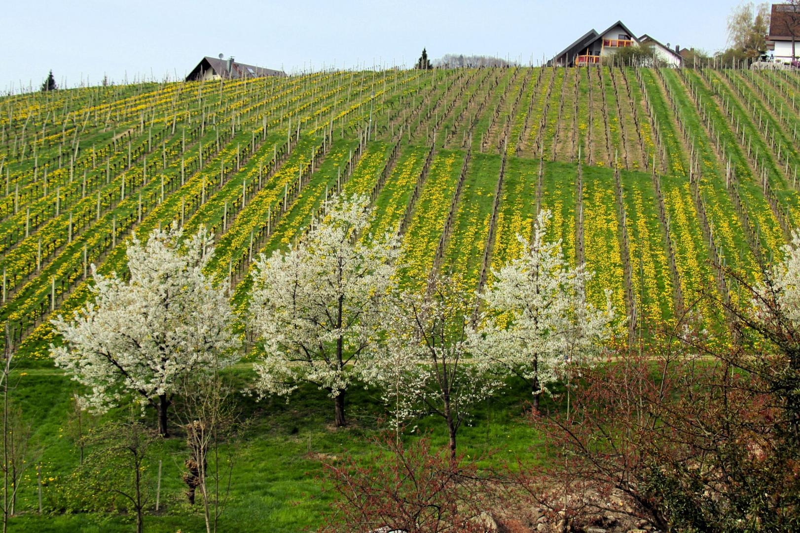 le printemps des vignes!
