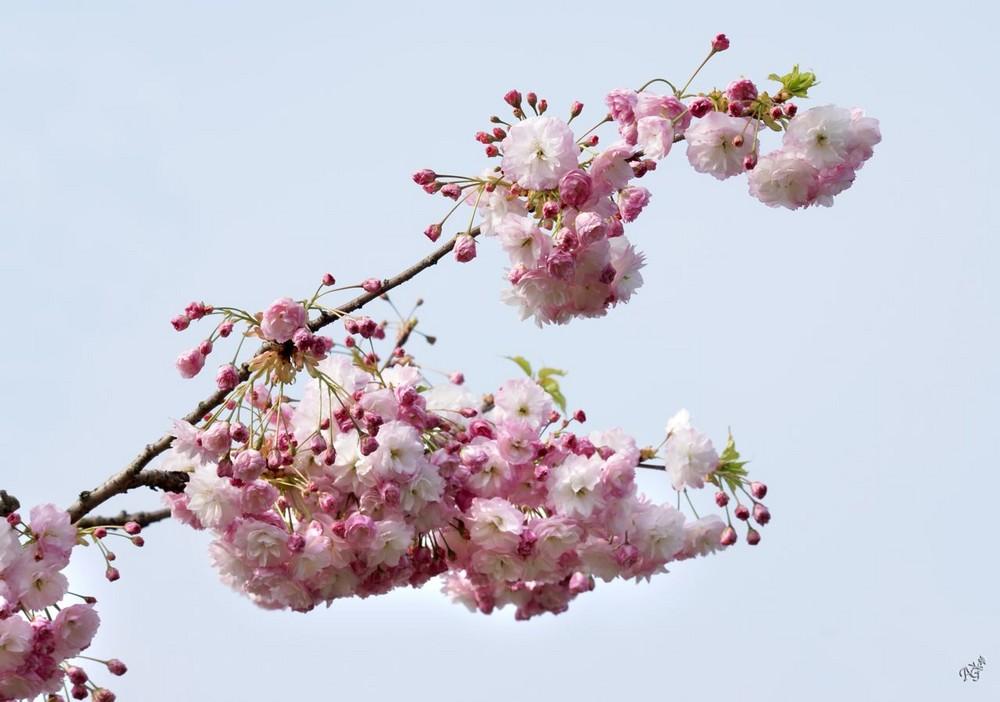 Le printemps est là.... les prunus sont en fleurs ....