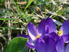 Le printemps est revenu, même l'abeille le dit