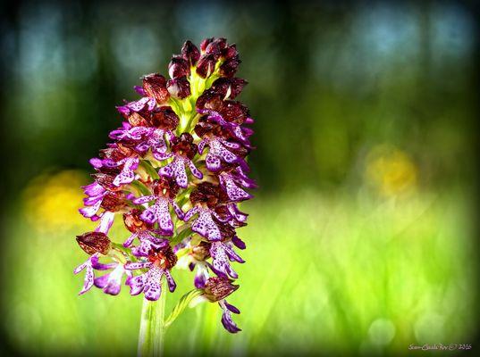 Le printemps et ses orchidées