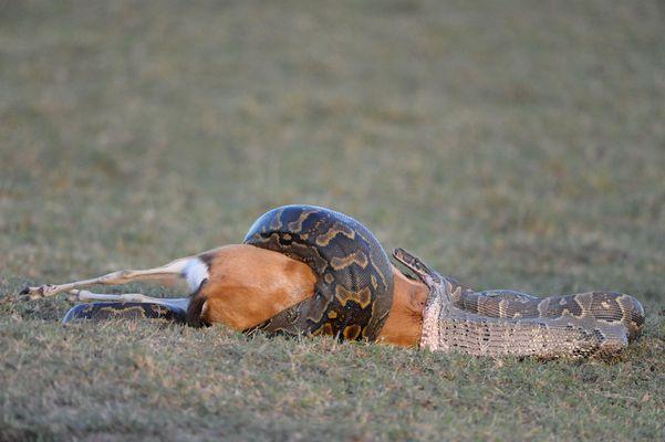 Le Python de Sebae et sa proie l' Impala