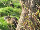 Le ragondin des Marais de Poitevin