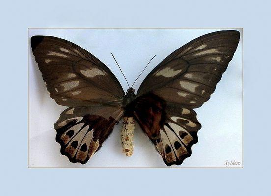 Le reflet papillon