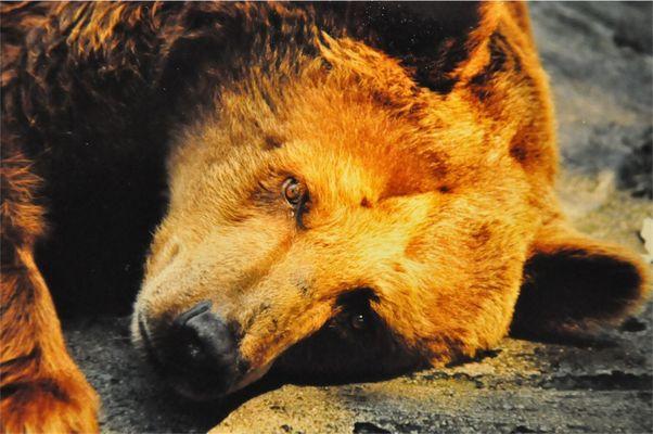 le regard de l'ours vers la liberté....