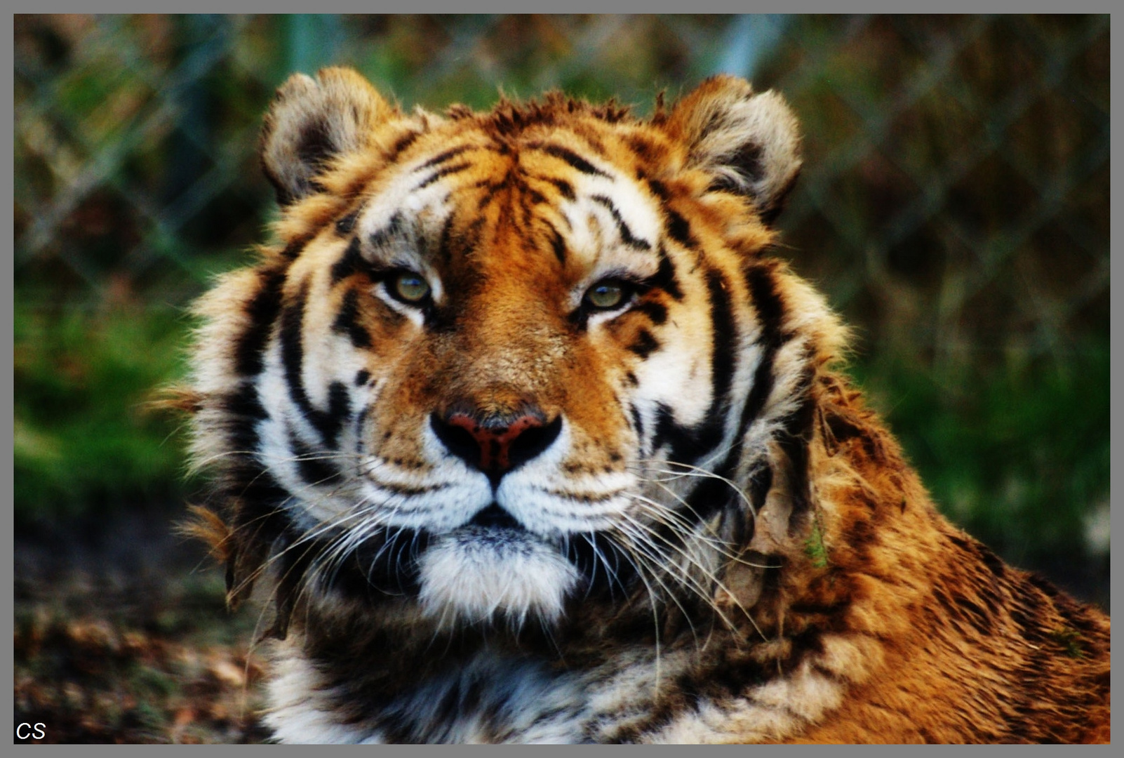 le regard du tigre