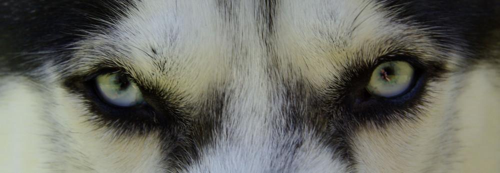 Le regard qui tue (du Husky)