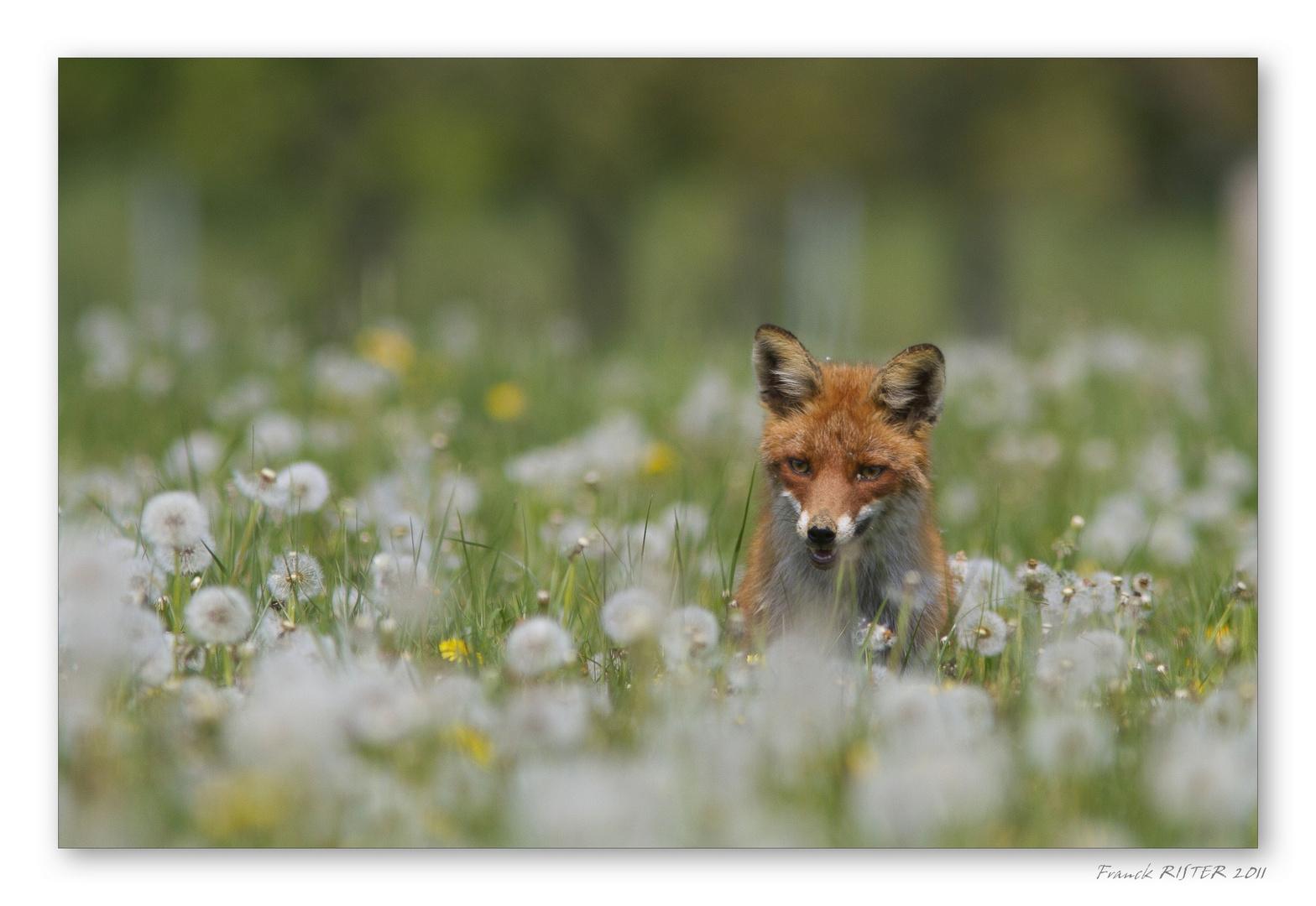 Le renard et les pissenlit