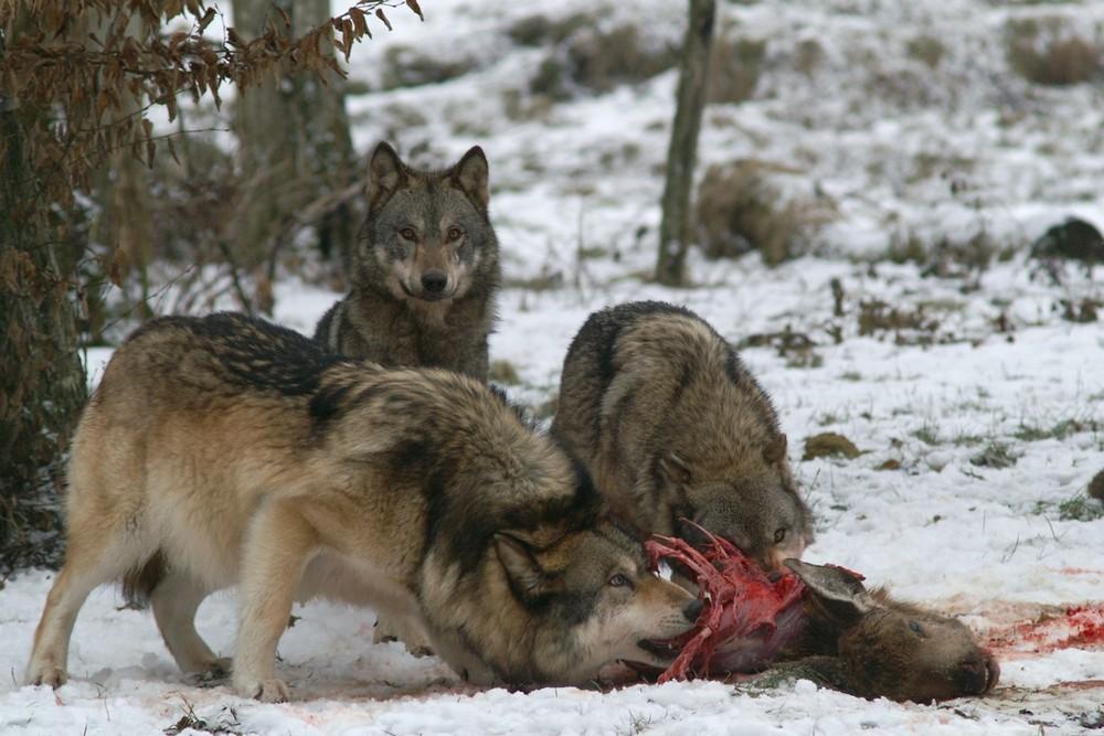 Le repas des loups 4