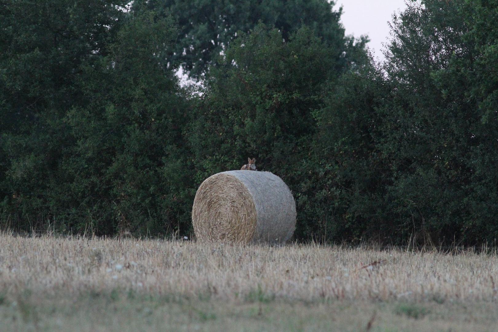 Le repos du renard