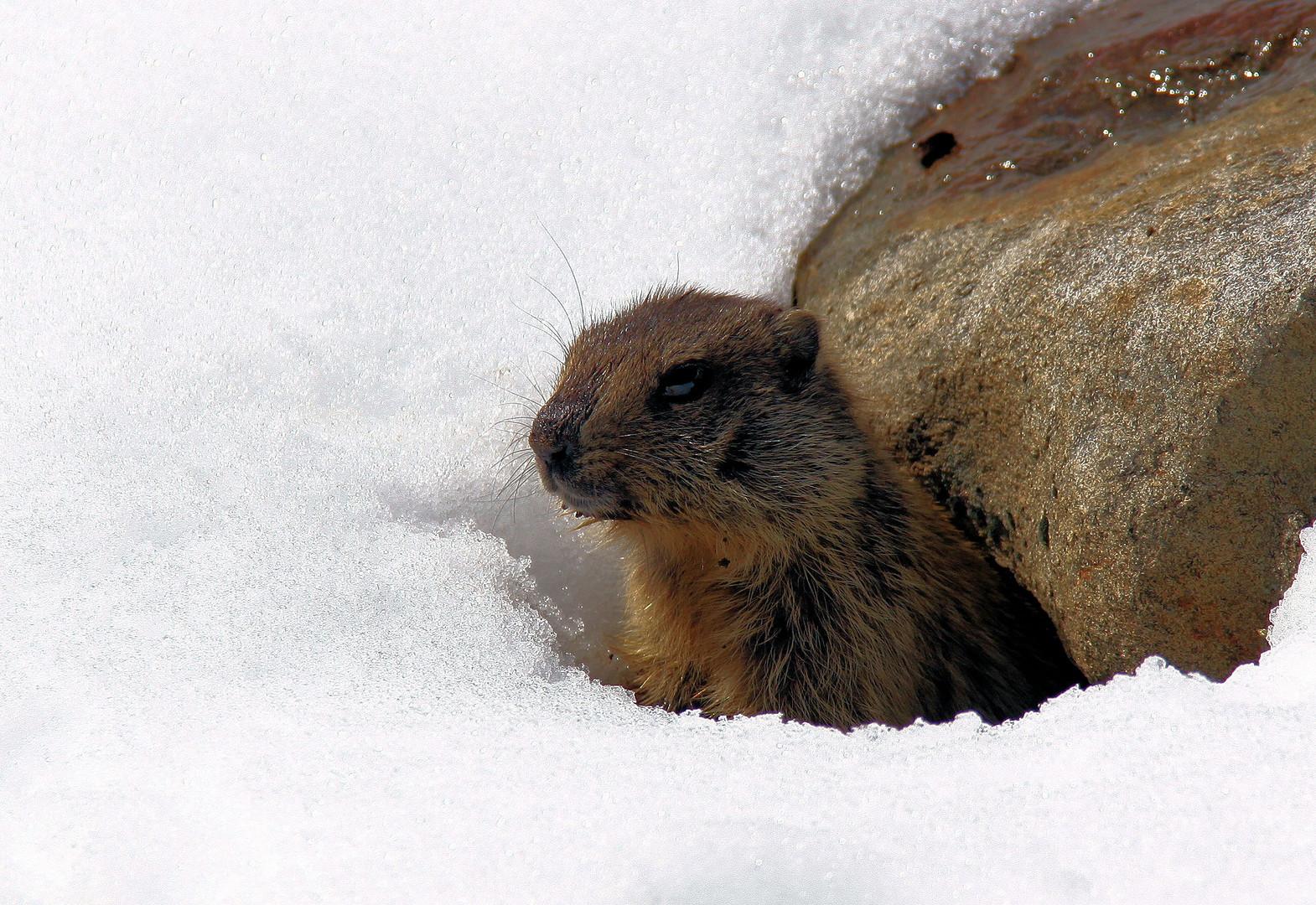 le retour de la marmotte!