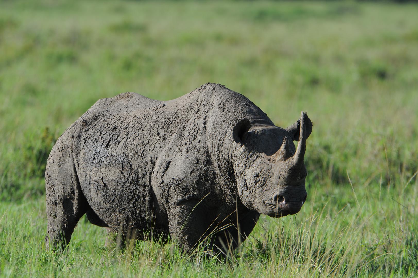 Le Rhino Noir