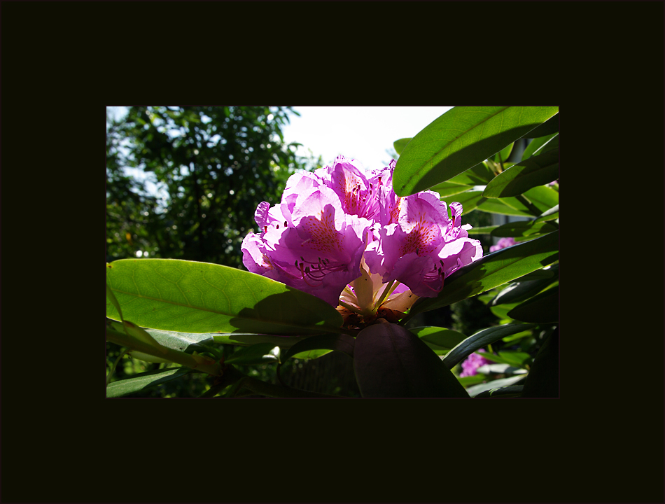 le rhododendron