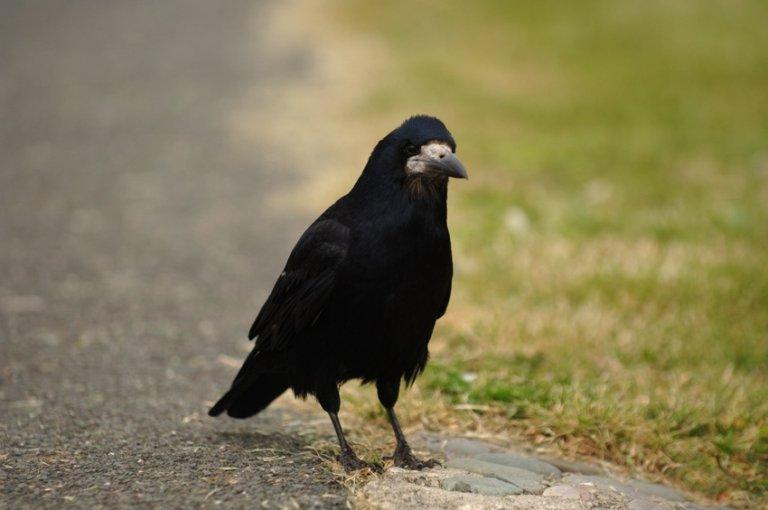 Le Roi Corbeau