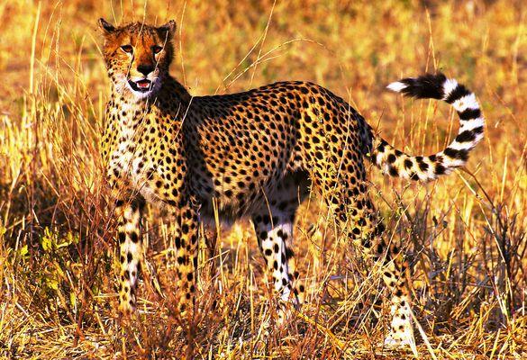 Le roi de la course....le guépard, parc du Serengeti, Tanzanie