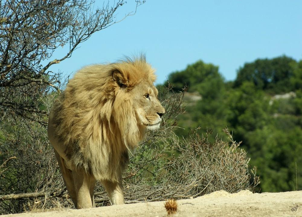 le roi de la jungle..