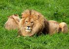 Le roi de la jungle