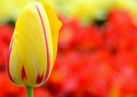 le rouge et jaune