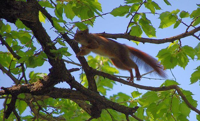Le saut de l'écureuil