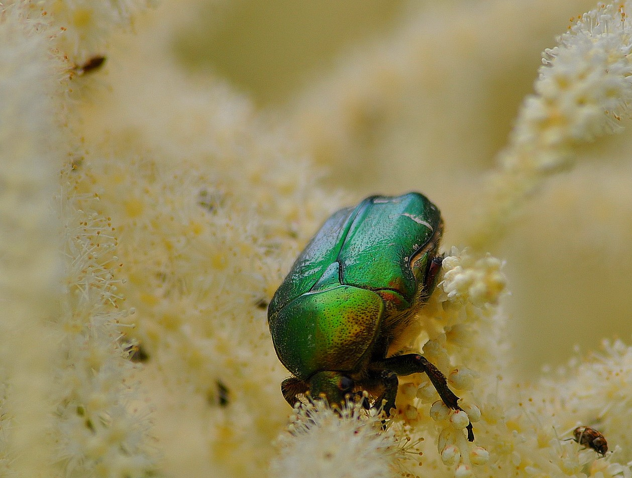 Le scarabé et le puceron
