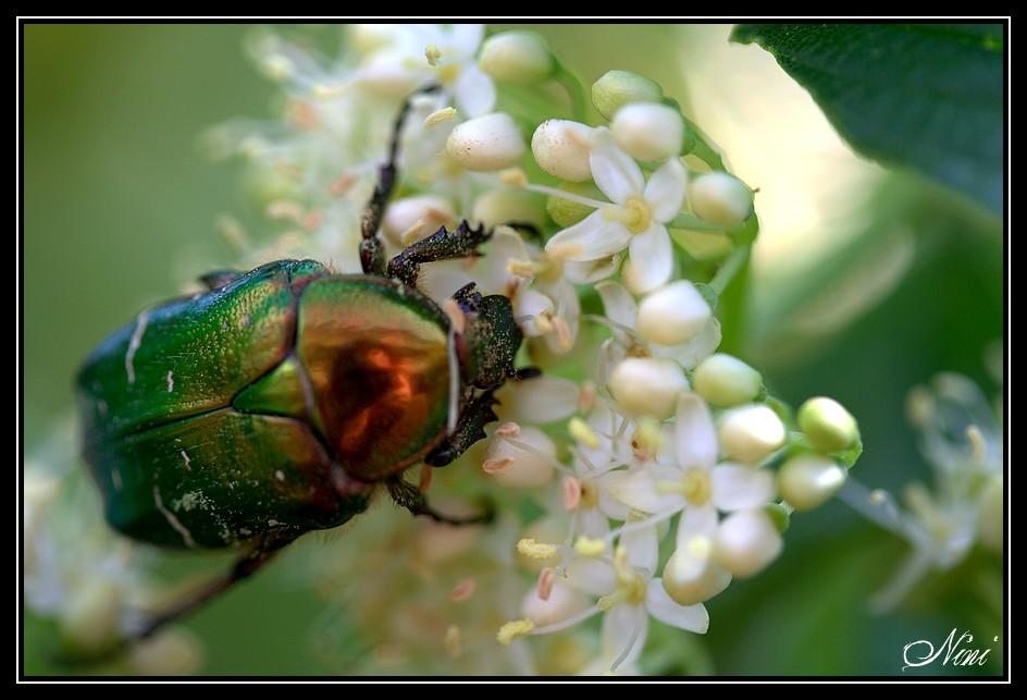 Le scarabée...
