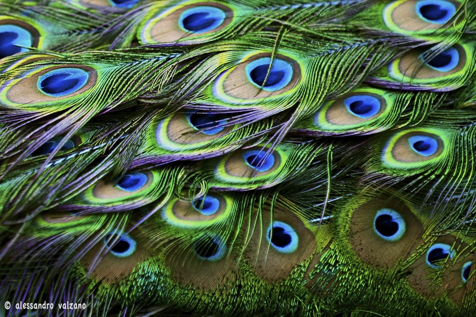 Le sfumature del pavone foto immagini animali zoo e - Pagina colorazione pavone ...
